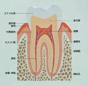歯の根っこの周りには「歯根膜」という感覚を司るところがあります。